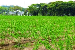 东湖邓家村 走在希望的田野上