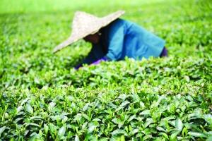 浓浓茶文化 火火致富路  ——婺源茶旅融合走出自己的风采