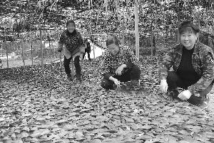 茶苗旺 村民乐