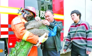 蓝孔雀被困空调外机内侧 消防员成功解救