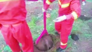 二百公斤重黄牛跌落下水道 消防和民警合力救出