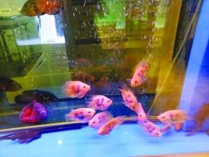 观赏鱼排行榜_探访上饶观赏鱼市场-上饶日报-上饶数字报-上饶新闻网