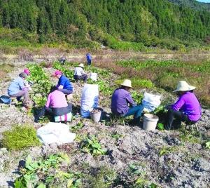 贫困户蔬菜丰收滞销 驻村工作队多方搭桥找市场