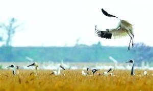 鹤群鄱阳湖岸边觅食 余干留600亩稻谷助其越冬